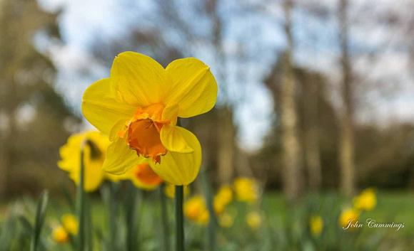 Daffodils, Hidcote Manor