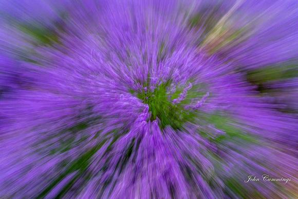 Lavender, Snowshill Lavender Farm