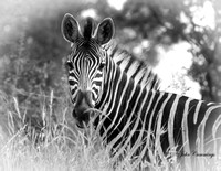 Zebra, Kruger National Park, South Africa