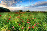 Poppies, Rollright Stones